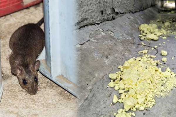 7 Home Ways to easily get rid of rat from a house and keep them away