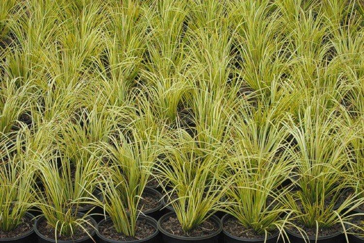 Reproduction and planting of calamus