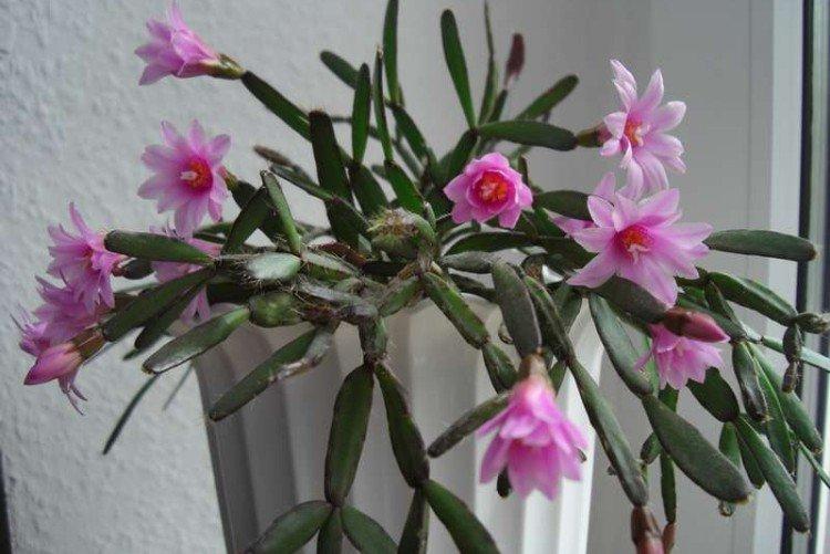Pink hatiora