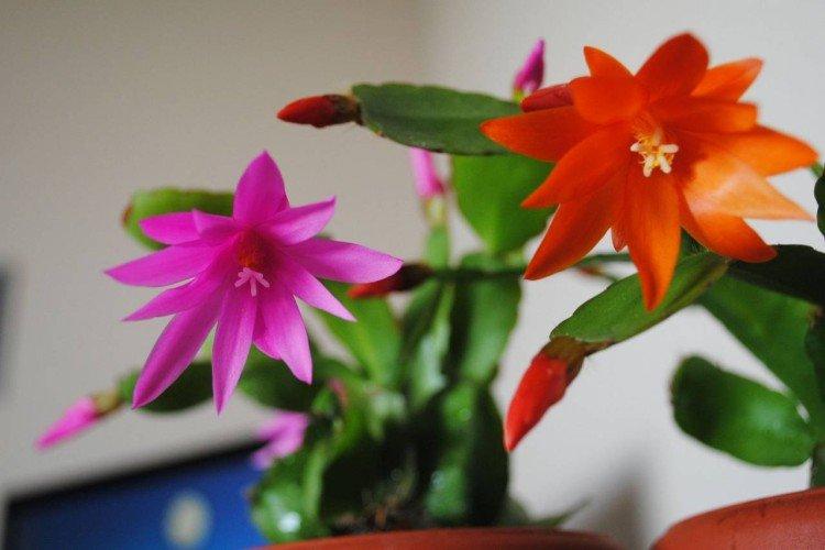 Rhipsalidopsis - photo