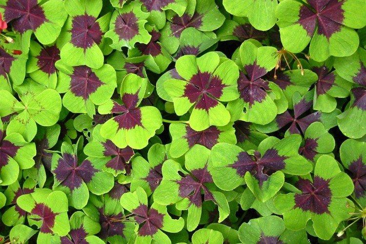Four-leaf oxalis