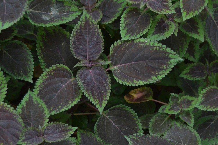 Plectrantus - photo