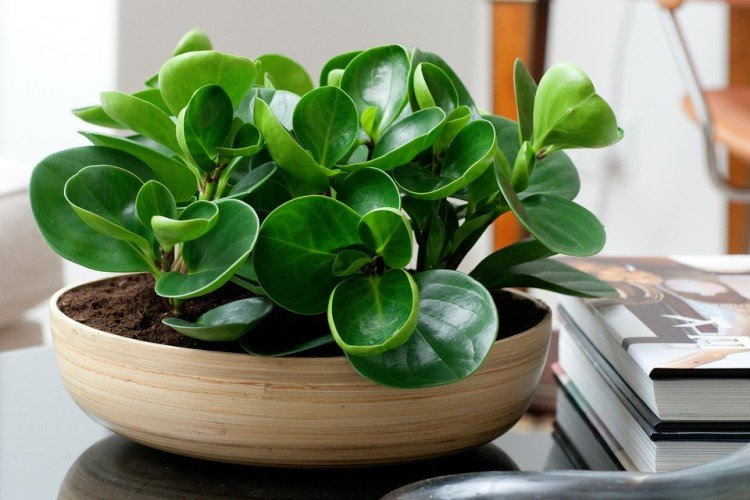Peperomia (50 photos): types, cultivation and care at home